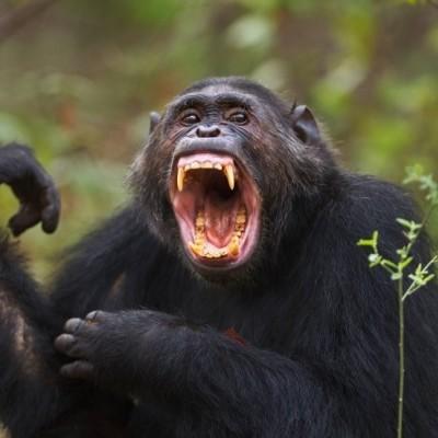 فرق ما با شامپانزه چیست؟