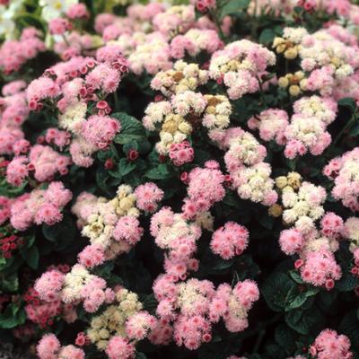 نحوه پرورش و نگهداری گل ابری