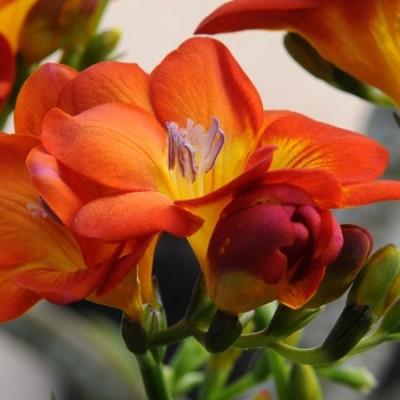نحوه پرورش و نگهداری  گل فریزیا