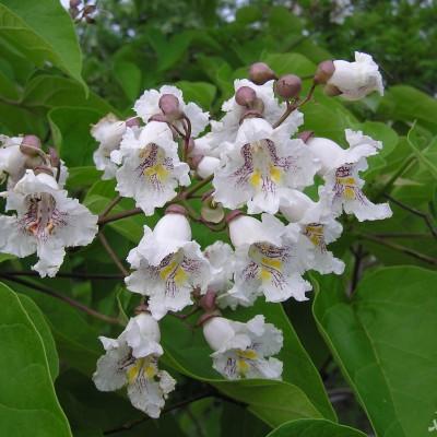 نحوه پرورش و نگهداری درخت جوالدوزک