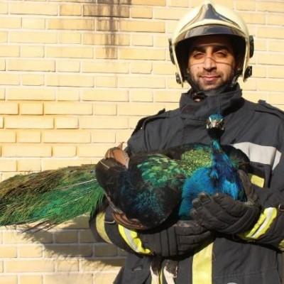 (عکس) طاووس در پشتبام یک منزل مسکونی در تهران!