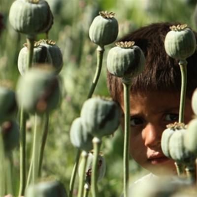 دیدن گیاه افیون در خواب چه تعبیری دارد؟ / تعبیر خواب گیاه افیون